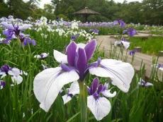 画像:岡崎市 花菖蒲まつり